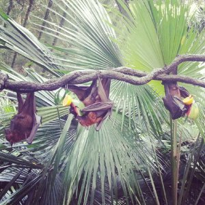 Huge, scary bats eating fruits
