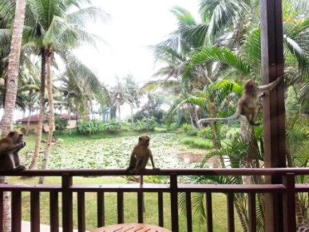 Club Med Bintan - monkeys